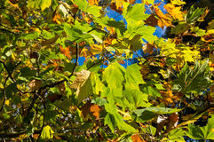 Yellow autumn leaves against sky on the background. Fall foliage Royalty Free Stock Image