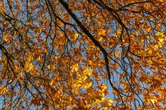 Yellow autumn leaves as a background with sunny blue sky. Fall tree beautiful color colorful forest leaf nature orange outdoor season texture abstract beauty stock image