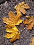 Yellow autumn leaves Royalty Free Stock Photos