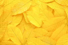 Yellow autumn leaves background Stock Image