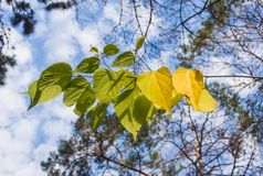 Yellow autumn leaves. On a background of blue sky with clouds Royalty Free Stock Photography