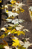 Yellow autumn leaves. On the background of the old board Stock Photography