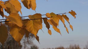 Yellow autumn leaves of birch. On blue sky background stock footage
