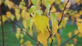 Yellow autumn leaves of birch tree stock video