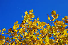 Yellow autumn leaves blue sky Royalty Free Stock Photo