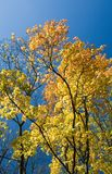 Yellow autumn leaves and blue sky Royalty Free Stock Image