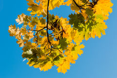 Yellow autumn leaves on blue sky Royalty Free Stock Photo