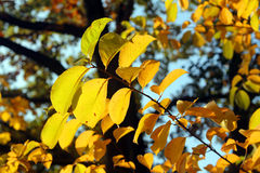 Yellow autumn leaves Stock Photo
