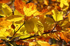 Yellow autumn leaves on branch Royalty Free Stock Photos