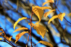 Yellow autumn leaves on the branches against blue sky Royalty Free Stock Photo