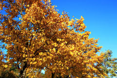 Yellow autumn leaves on the branches against blue sky Stock Photos