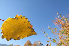 Yellow autumn leaves on a bright blue sky background royalty free stock photography