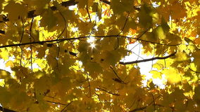 Yellow autumn leaves stock video footage