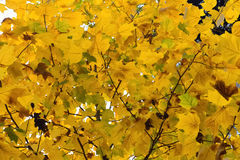 Yellow autumn leaves close-up. Image of yellow autumn leaves close-up Stock Photos