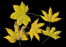 Yellow autumn leaves 5 Royalty Free Stock Photography