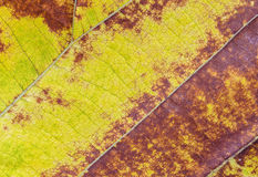 Yellow Autumn Leaves close up texture Royalty Free Stock Image