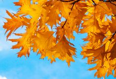 Yellow autumn leaves close up. Outdoor. Nature background Stock Photography