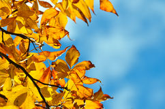 Yellow autumn leaves with cloudy sky background Royalty Free Stock Photo