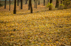 Yellow autumn leaves cover ground in park Stock Image