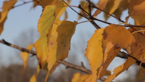Yellow autumn leaves 2 stock footage