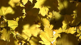 Yellow autumn leaves stock footage