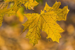 Yellow autumn leaves. Detail of a yellow autumn leaves in sunlight Royalty Free Stock Images