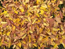 Yellow autumn leaves. Fallen autumn leaves Royalty Free Stock Photos