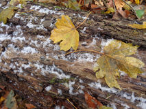 Yellow autumn leaves and first snow Royalty Free Stock Photography