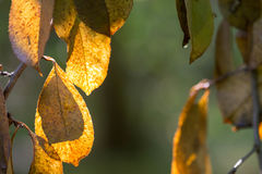 Yellow autumn leaves in fores selective focus Royalty Free Stock Images