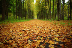 Yellow autumn leaves in the forest Stock Images