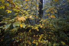 Yellow autumn leaves in a forest after rain Stock Photos