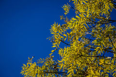Yellow autumn leaves. In front of shiny blue sky Royalty Free Stock Image