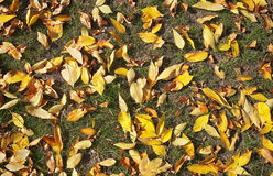 Yellow autumn leaves on the grass. Royalty Free Stock Photo