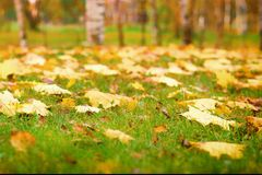 Yellow autumn leaves on green grass. Fall woods. Stock Photo