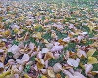 Yellow autumn leaves on green grass Royalty Free Stock Photography