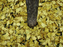 Yellow autumn leaves on the ground Stock Images