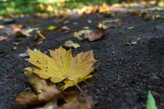 Yellow autumn leaves on the ground. In the forest Stock Images