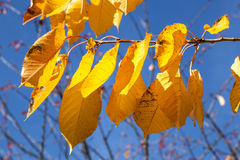 Yellow autumn leaves hanging at Stock Photo