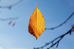 Yellow autumn leaves hanging at Royalty Free Stock Photos