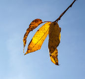 Yellow autumn leaves hanging at the birch tree Royalty Free Stock Image