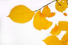 Yellow autumn leaves. High quality large size photo of bright yellow leaves. Image shows high contrast close up vew of a foliage, deep yellow, almost golden Stock Image