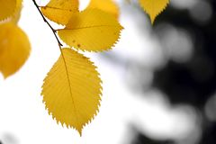 Yellow autumn leaves. High quality large size photo of bright yellow leaves. Image shows high contrast close up vew of a foliage, deep yellow, almost golden Stock Photography
