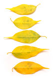 Yellow autumn leaves isolated Royalty Free Stock Photos