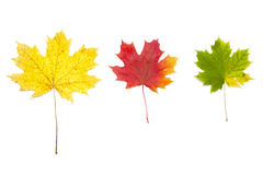 Yellow autumn leaves isolated on white Royalty Free Stock Photography