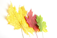 Yellow autumn leaves isolated on white Stock Image