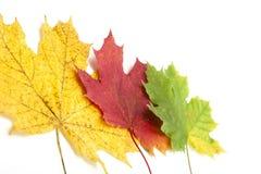 Yellow autumn leaves isolated on white Royalty Free Stock Photos
