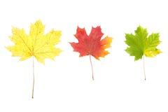 Yellow autumn leaves isolated on white Stock Photos