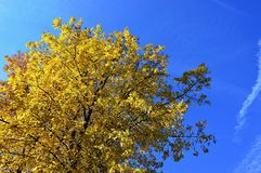 Yellow autumn leaves on large broadleaf tree against bright blue sky, afternoon clear day sunshine Stock Photography
