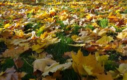 Yellow autumn leaves on the lawn in the square. Yellow autumn leaves of a maple on a lawn of the city square royalty free stock photos