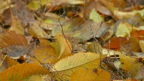 Yellow autumn leaves lie on the ground background stock video